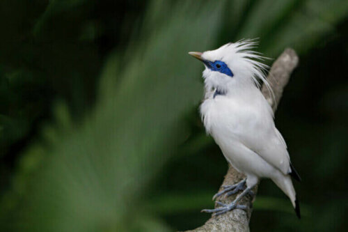 Bali Myna: Nesli Tükenmekte Olan Güzel Bir Kuş