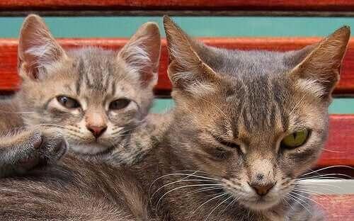 Kediler çiftleşirken meydana gelen sesler