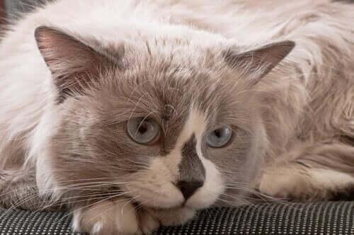 Uzanan ragdoll kedisi