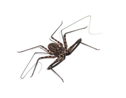 Amblypygid Yetiştiriciliği: Kırbaç örümcekleri ve Diğerleri
