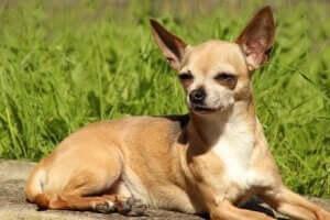 Chihuahua paris hilton
