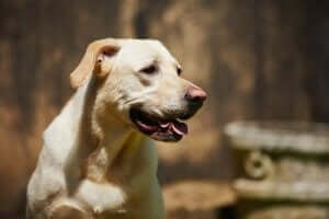 dili dışarıda yaşlı köpek