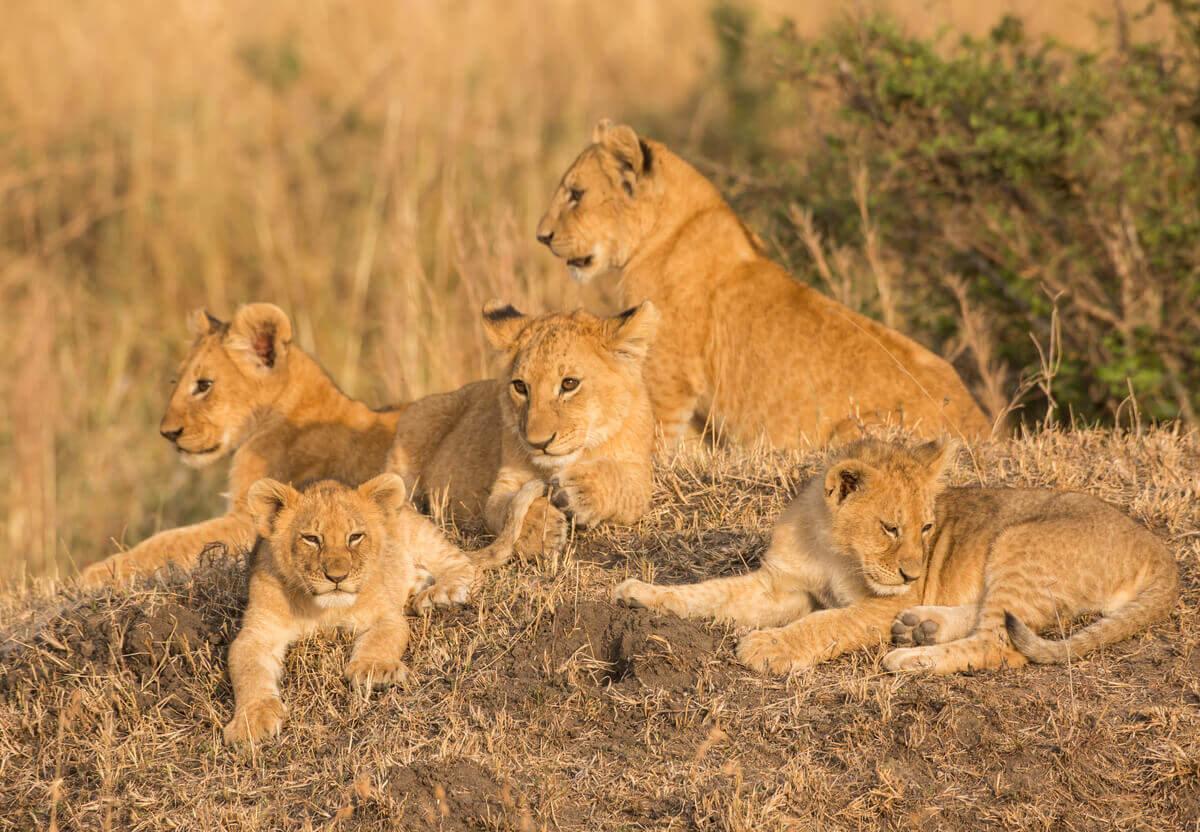 dişi aslanlar ve yavruları
