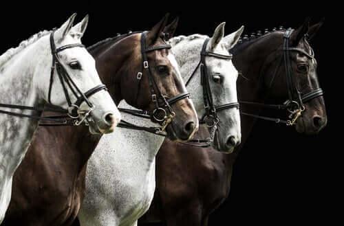 Kahverengi ve beyaz dört perşeron atı