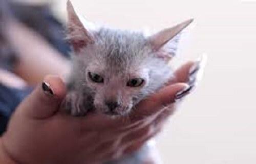 Bir kadının elinde duran bir kurt kedisi yavrusu.