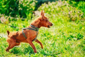 Köpeğinizi Elde Tutulmayı Kabul Etmesi için Nasıl Eğitirsiniz?