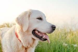 dili dışarıda bir köpek