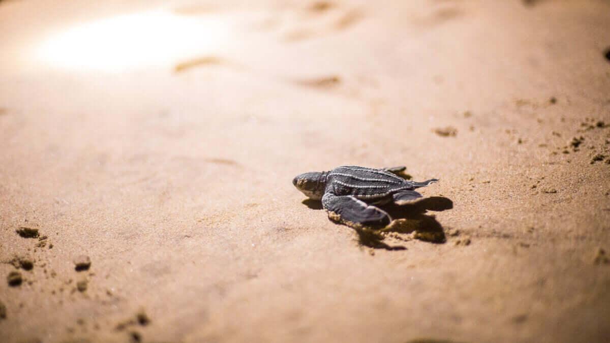 kaplumbağa yavruları deri sırtlı deniz kaplumbağaları