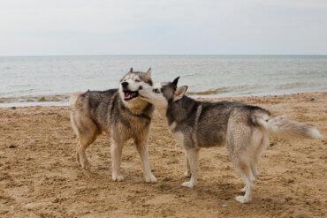 Köpeklerde Yaygın Görülen Cinsel Yolla Bulaşan Hastalıklar Nelerdir?
