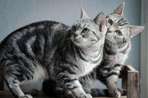 Amerikan Shorthair Türü Hakkında Bilmeniz Gerekenler