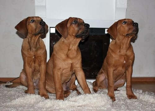 En Yaygın Japon Köpek Irkları