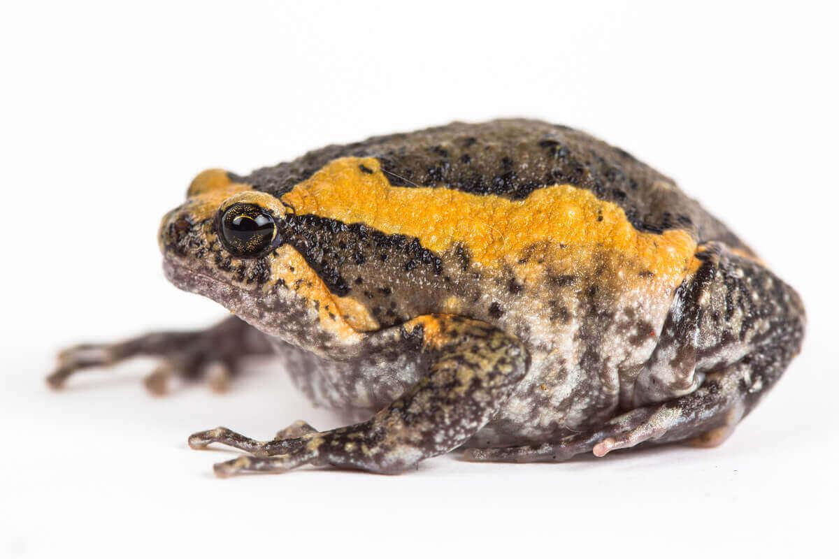 kurbağa yetiştiriciliği