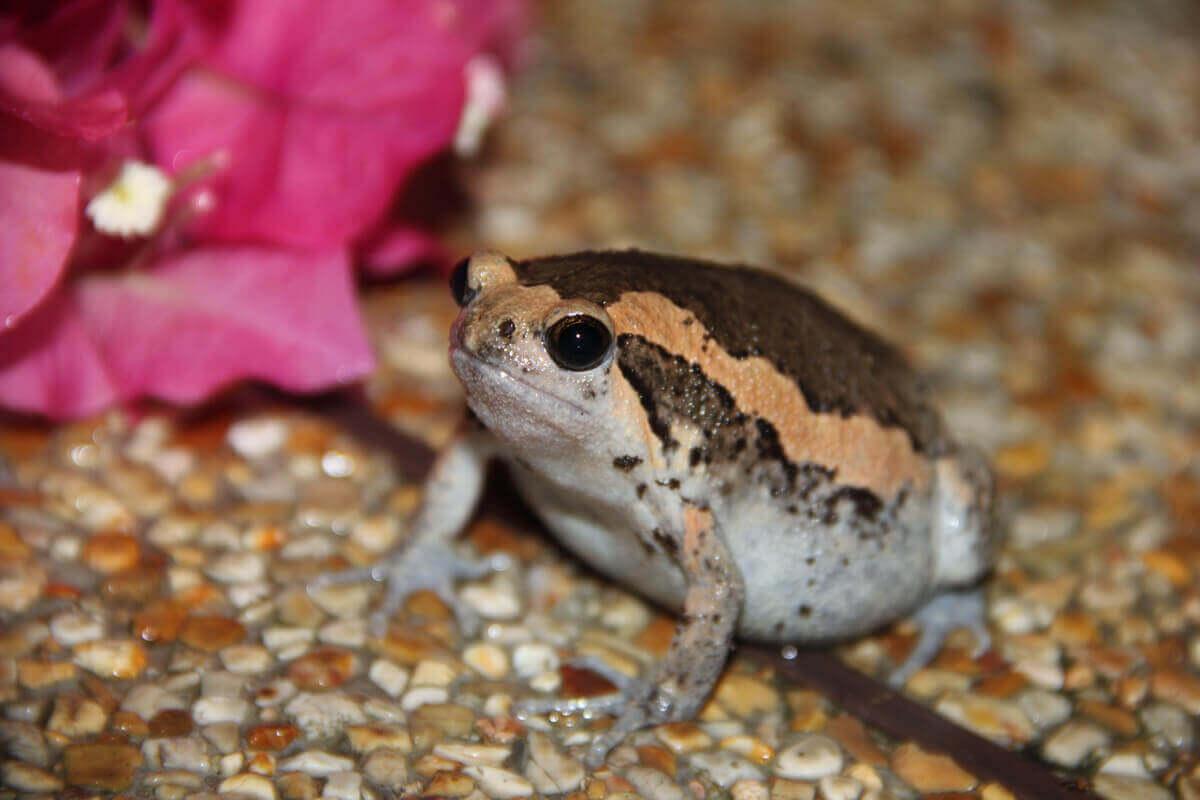 şeritli boğa kurbağası yetiştiriciliği