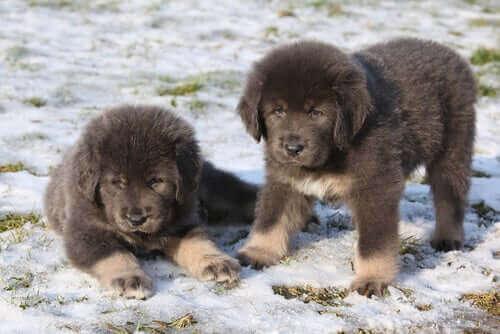 İki kabarık tüylü köpek.
