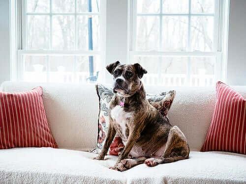 Evcil Köpeklerin Kökeni: Nasıl Ortaya Çıktılar