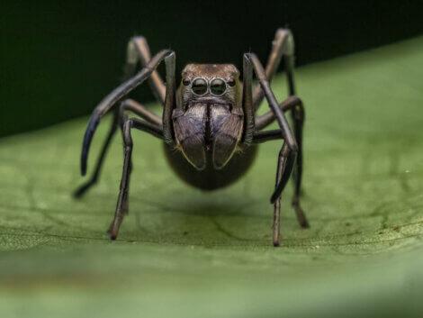 karınca taklit eden örümcekler