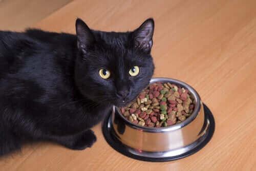 Kuru mama yiyen bir kedi.