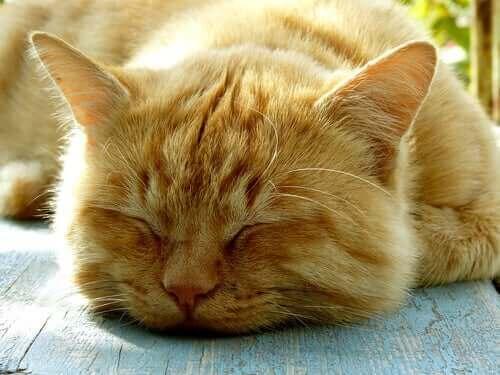 Kedilerin Uyku Alışkanlıkları