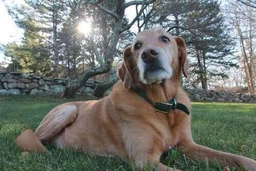 Köpeklerde Osteoartrit Belirtilerini Fark Etmek