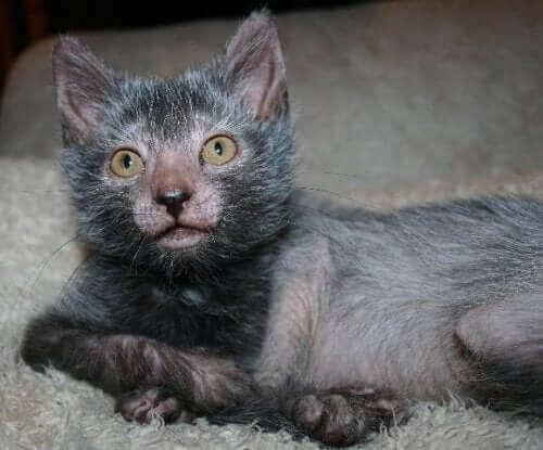 Kurt Kedisi: Yeni Kedi Cinsi Lykoi İle Tanışın