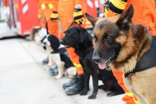 Bir dizi kurtarma köpeği.