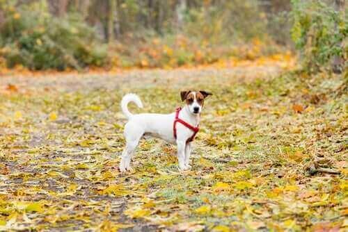 Kuru yaprakların arasında duran bir köpek.