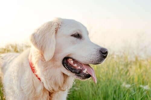 Bir Labrador.