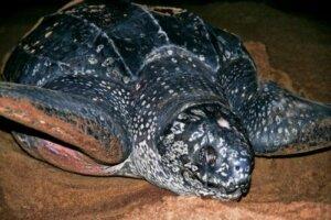 kaplumbağa deri sırtlı deniz kaplumbağası