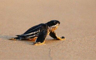Deri Sırtlı Deniz Kaplumbağası Yavruları: Kafaları Neden Karışıyor?