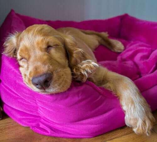 Fuşya minderin üstünde uyuyan köpek