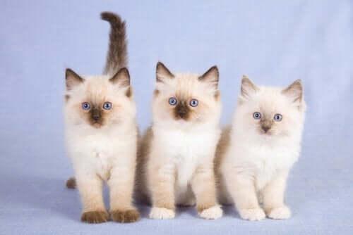 Üç ragdoll kedisi