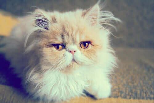 uzaklara bakan beyaz kedi ve mırlamak