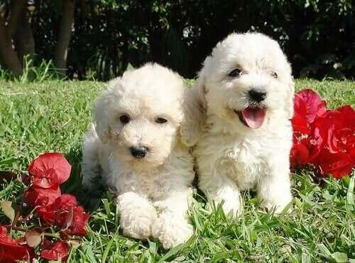 İki tüylü köpek.