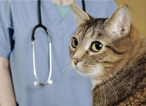 Veterinerinden uzağa bakan bir kedi.