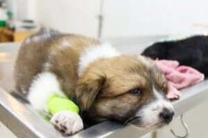 yatan küçük hasta köpek