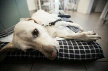 Köpeklerde Neosporoz: Nedenleri, Belirtileri ve Tedavisi