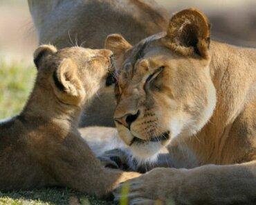 Dişi Aslanların Annelik İçgüdüsü