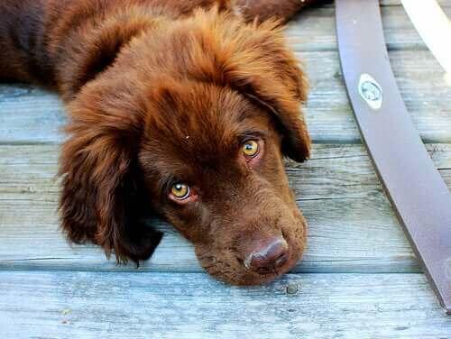 Kafasını yere dayamış kahverengi tüylü yeşil gözlü köpek