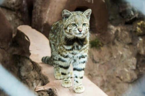 And Kedisi - Nesli Tükenmekte Olan Bir Kedi
