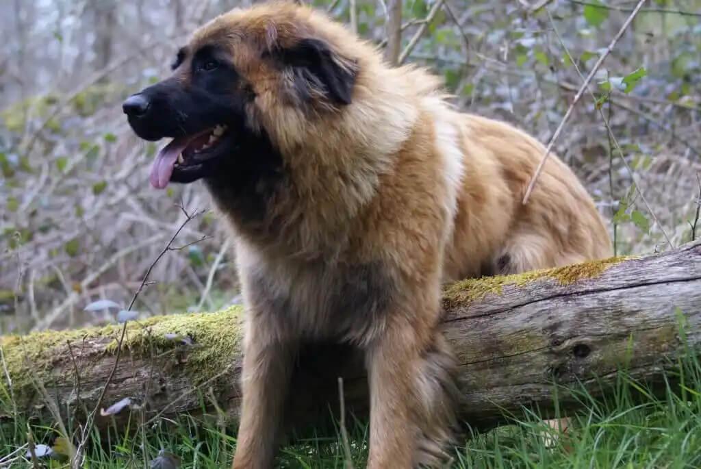 estrella dağ köpeği çalılarda tek başına