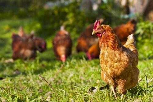 açıkta gezen özgür tavuklar