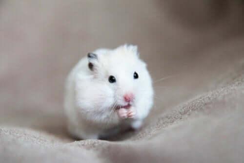 Hamsterlarda Tümörlerin Nedenleri, Belirtileri ve Tedavileri