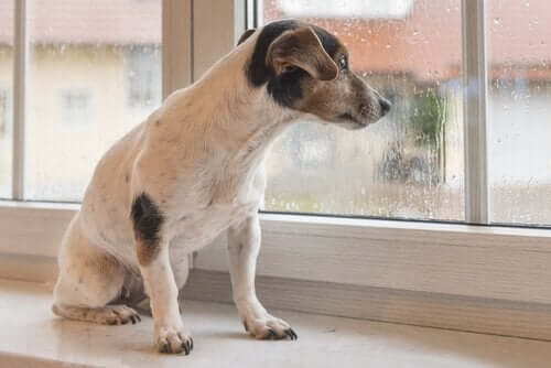 Yağmur Sesi Köpekleri Nasıl Etkiler?