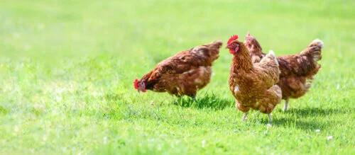 çimlerde tavuklar