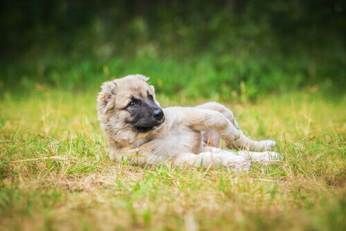 çimlere yatmış yavru köpek