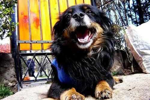 Dişi Köpeklerde Piyomera (Rahim İltihabı) Hakkında Bilmeniz Gerekenler