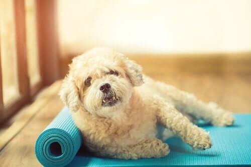 yoga matında köpek