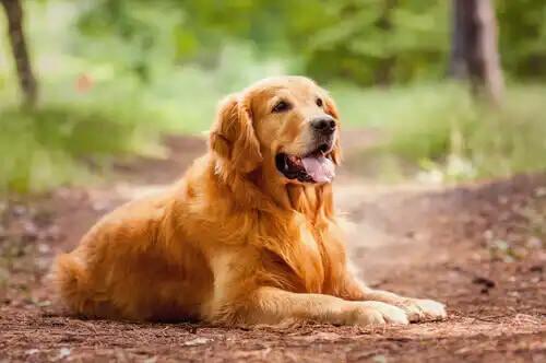 tek başına ormanda oturan golden retriever