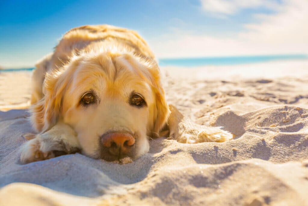 Evcil Hayvanlarda Güneş Dermatiti