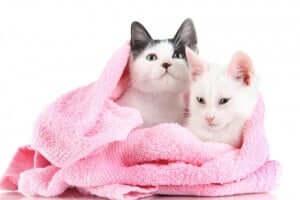 havluya sarılmış iki kedi